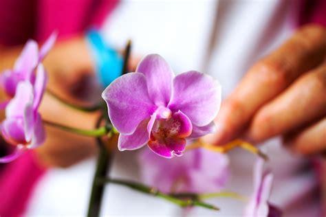 wann darf rasenmã hen orchidee schneiden orchideen schneiden nach der bl te
