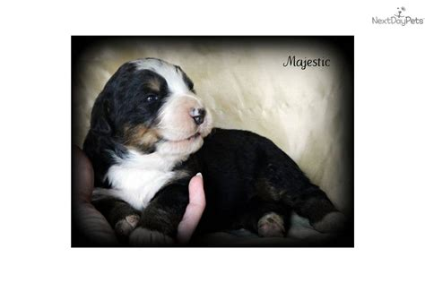 bernese mountain puppies ky bernese mountain puppy for sale near bowling green kentucky 211da313 9321