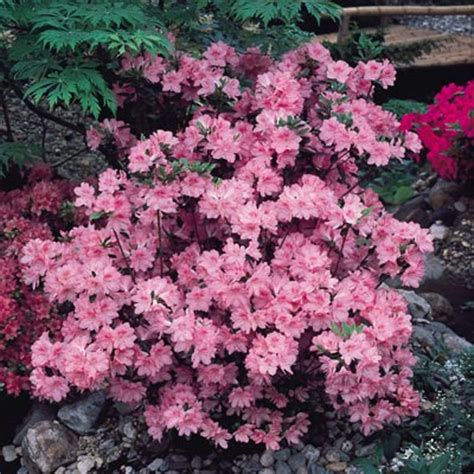 evergreen japanese azaleas daily