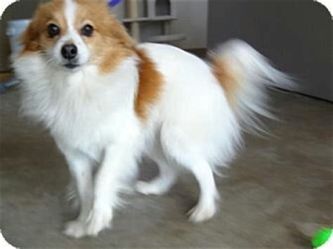 papillon pomeranian mix for sale 1000 images about dogs on sheep dogs shetland sheepdog and spaniels