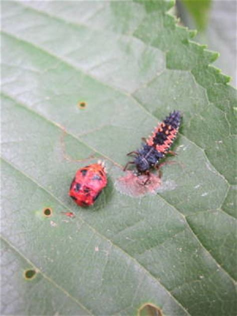 cherry tree worms insect s killing my cherry tree