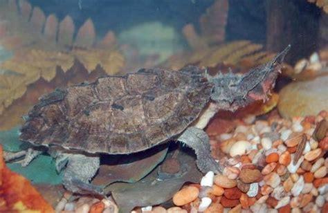 Mata Be Safe freshmarine mata mata turtles chelus fimbriata