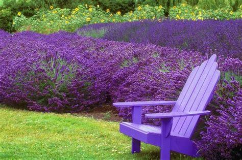lavender plants  pictures ehow