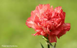 Carnation Flowers Pictures - single carnation flower picture 73