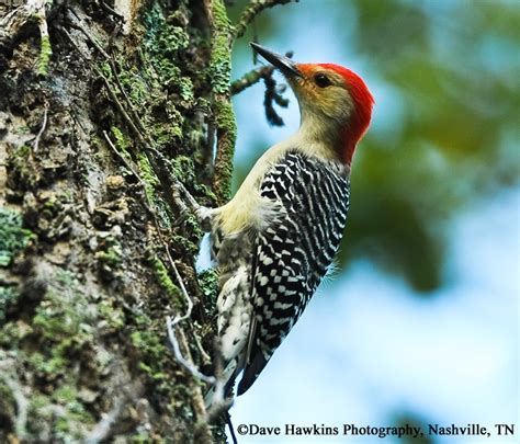 tennessee watchable wildlife red bellied woodpecker