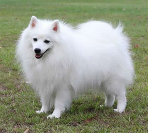 Do Japanese Spitz Shed by I Bet You Strange Coffee Table Books Sushiowl