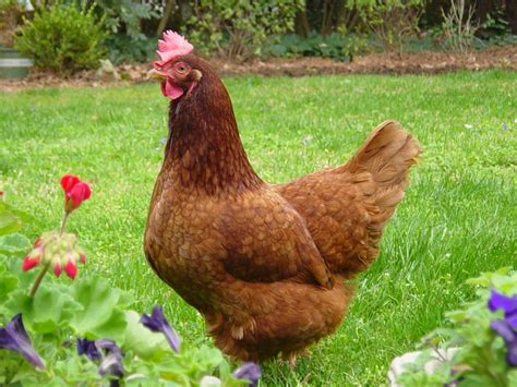 The Backyard Chicken Image Gallery Hen Breeds