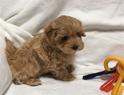 yorkie puppies salt lake city 17 best ideas about shih poo on small puppies small dogs and teddy