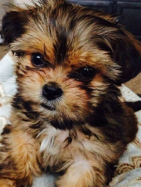 what is a shorkie puppy shorkie tzu mix wiki breeds picture