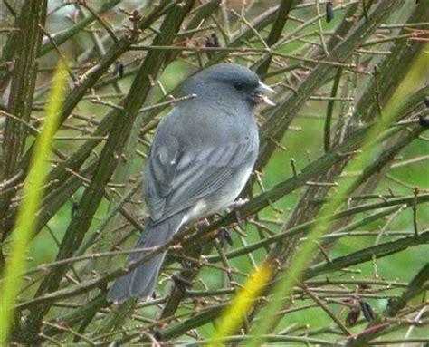 dark eyed junco winter birds of western north carolina