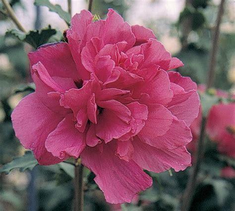 hibiscus putih tumpuk 20 40cm hibiscus syriacus j c bakker nurseries