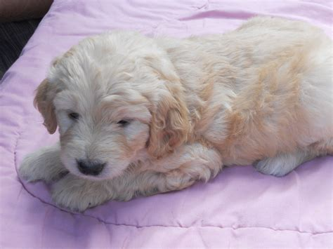 goldendoodle puppies ma our mini goldendoodles about farm updated 3 29 18 23 05