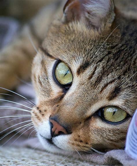 Wallpaper Egypt Cat | cute egyptian mau photo and wallpaper beautiful cute