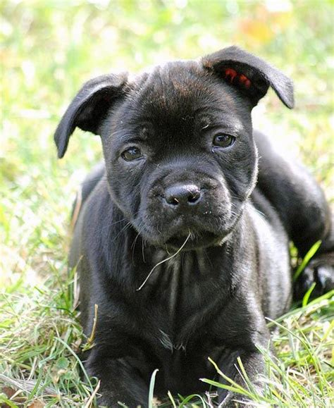 staffordshire bull terrier puppies for adoption the 25 best staffordshire bull terrier rescue ideas on staff bull terrier