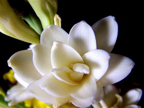 Jual Bibit Bunga Sedap Malam Jakarta tips budidaya tanaman bunga sedap malam cara menanam dan