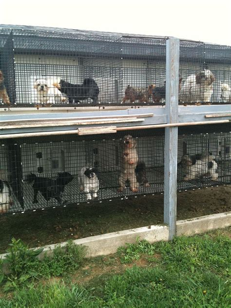 puppy mill pictures the puppy mill project amish puppy mills
