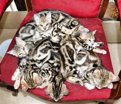 Sprei Felis Single Motif Marble 120x200 37 best images about bengal kittens on