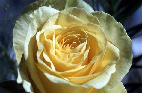 themes yellow rose flowers free pictures valentine s day roses tulips
