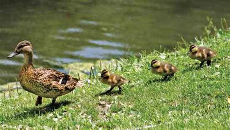 Keeping Backyard Ducks by 2014 Grit Guide To Backyard Chickens