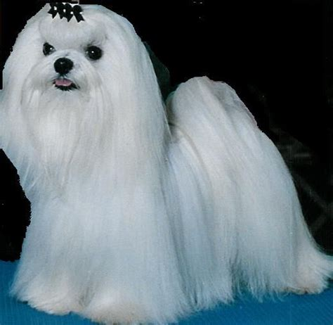 maltese dogs for adoption adoption for sale and puppys on