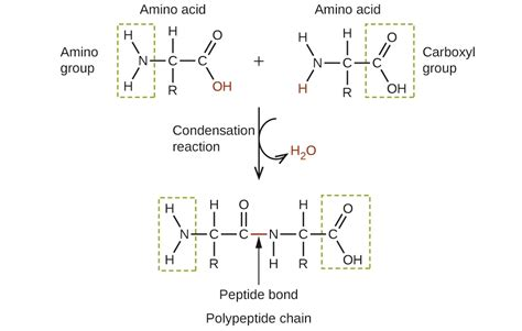 dipeptide diagram chemistry amines and amides