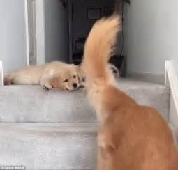 Puppy On Stairs by Somepawdy Help Me Cute Video Of A Nervous Puppy Trying To