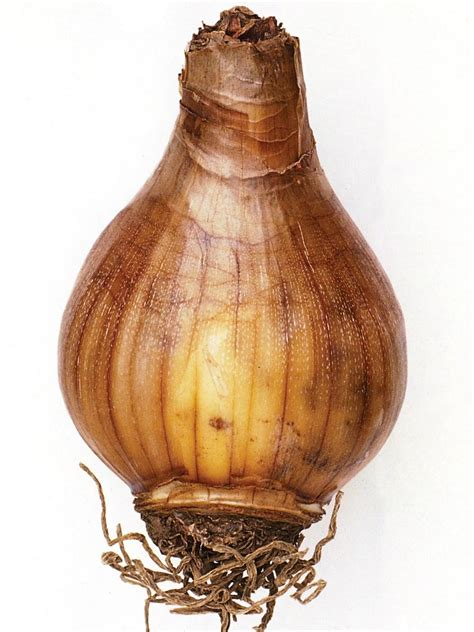 identifying bulb types understanding bulbs corms rhizomes and tubers hgtv