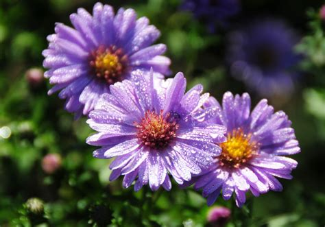 Pictures Of Flowers Aster Aster Flower Gallery