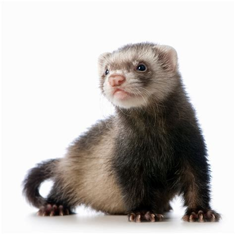 pet ferret care and advice may 2014