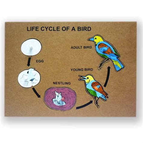bird life cycle