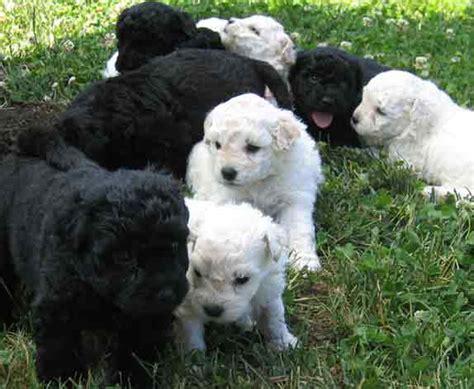 puli puppies puli puppies for sale