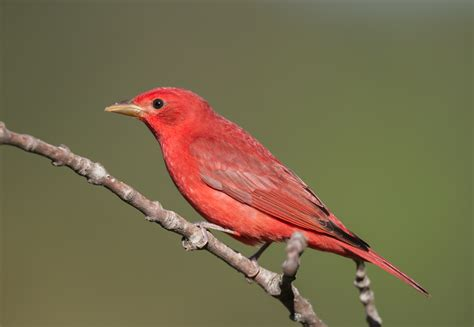 garden birds summer tanager roads end naturalist