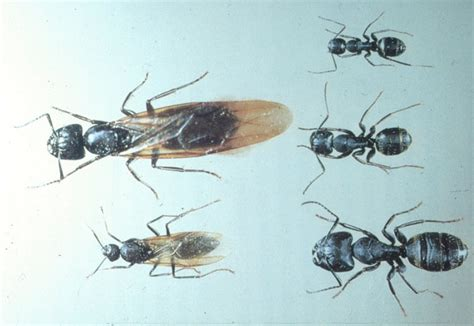 carpenter ants insects of minnesota extension
