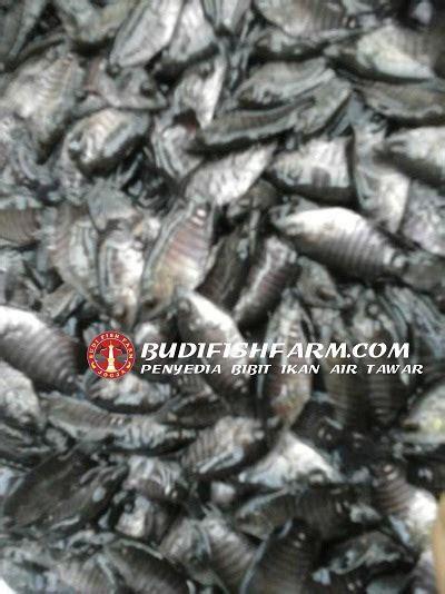 Bibit Ikan Gurame Unggulan jual benih ikan gurame terbaik budi fish farm budi