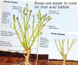25 best ideas about rose bush care on pinterest growing