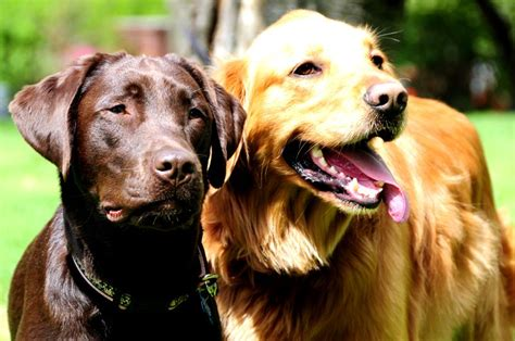 labrador vs golden retriever yellow lab vs golden retriever photo happy heaven
