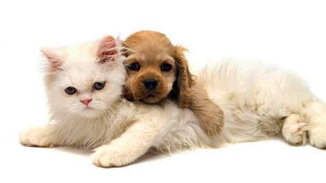 Hd animal wallpaper of a cat and dog cuddling cat and dog wallpaper