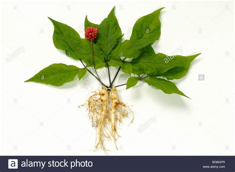 ginseng panax ginseng arrangement of fruit leaves and