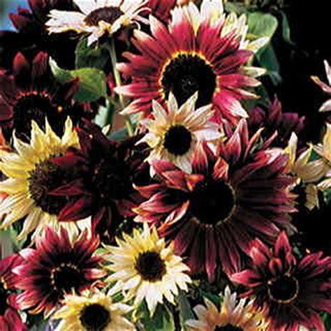 razzmatazz mix sunflower seeds