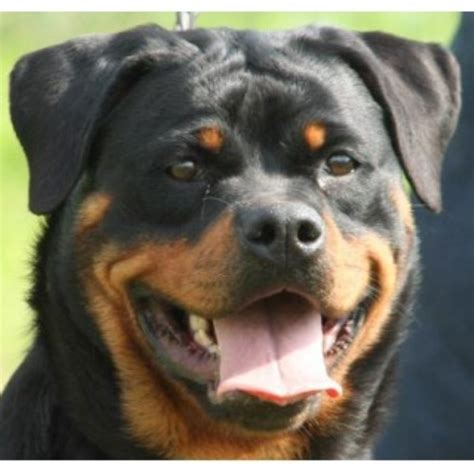purebred german rottweiler price rottweiler puppies and dogs for sale and adoption freedoglistings page 3