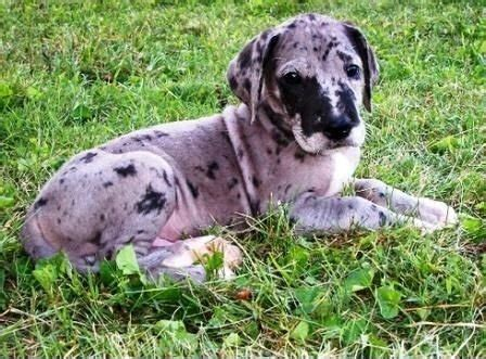 free puppies pasco county smart and house trained great dane puppies for sale adoption from pasco florida