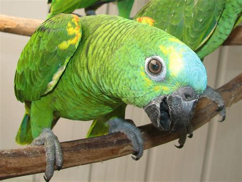 amazon parrot amazon parrots from priam parrot breeding