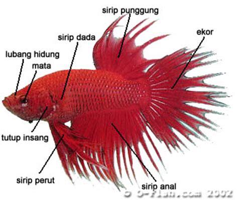 Pakan Ikan Cupang Yang Mahal ndilo budidaya ikan cupang betta spelendes