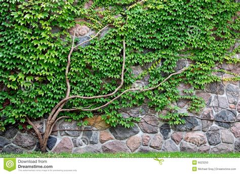 vine growing on a rock wall stock photo image 6623250