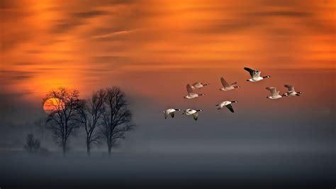 flight sunset geese  flight fog wood red sky art hd