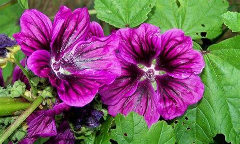 fiore di malva malva comune malva malva fiori di co malva