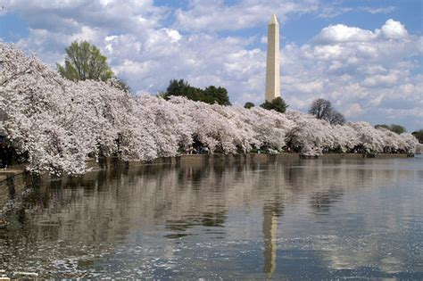 washington d c cherry trees cherry trees in bloom in dc washington monument as seen fr flickr
