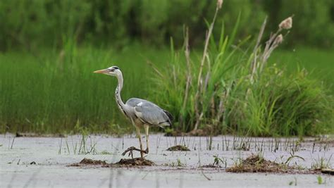 heron meaning gray heron definition meaning