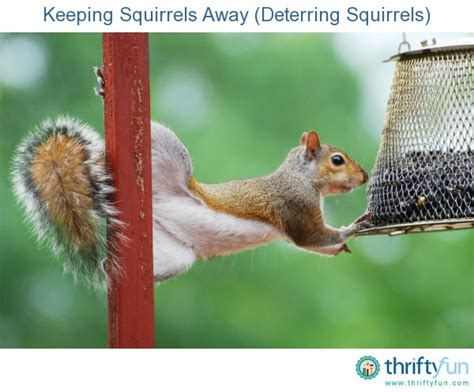 How To Keep Squirrels Away From Garden by Keeping Squirrels Away Deterring Squirrels Thriftyfun