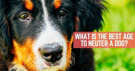 what age is a puppy what is the best age to neuter a thatmutt